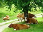 """Maciek Froński """"Krowy pod drzewem"""" (2013-04-03 12:43:34) komentarzy: 2, ostatni: :)"""