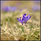 """007areka """"szafran"""" (2013-04-29 18:50:41) komentarzy: 1, ostatni: b.ładnie:)"""