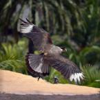 """Trollek """"Falcon"""" (2013-05-24 23:11:54) komentarzy: 4, ostatni: z ust mi to wyjąłeś , powinni zmienic nazwę na TWAfoto . Na digarcie wrzucam tylko foty i mam prawie 200 tys wejść . A ptaszek fuwa do 200km/h , chyba tylko jaskółka go przegoni  ;)"""