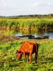 """Maciek Froński """"Krowa znad Narwi czerwono barwi..."""" (2014-02-12 08:34:07) komentarzy: 9, ostatni: Tak, Waniewo. No niestety, krowa się nie postarała:)"""