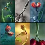 """mycatherina """"Tulipany..."""" (2014-11-02 07:44:29) komentarzy: 11, ostatni: :D Wiosna, wiosna radosna!! :)))"""