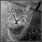 """mario1972 """"Szaro- bury"""" (2014-11-04 00:03:18) komentarzy: 2, ostatni: :D Znakomity koci portret... :) Koty są niezwykłe! :))"""
