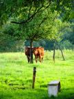"""Maciek Froński """"Dwie krowy"""" (2015-04-09 10:12:52) komentarzy: 3, ostatni: Gdyby odciąć prawie całą zieleń od góry, zmieniłyoby się zupełnie rozłożenie """"ciężaru"""" zdjęcia, a wtedy dół za bardzo przyciągałby uwagę... Nie wiem, spróbuję..."""