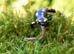 """tadek66 """"Salamandra plamista i jej ofiara......."""" (2015-09-13 11:42:16) komentarzy: 6, ostatni: niezłe trofeum...//"""