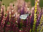 """MacroFun """"Wrzosowy pejzaż z motylkiem."""" (2015-10-04 07:54:34) komentarzy: 3, ostatni: bdb"""