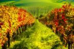 """Bonnie & Clyde """"Morawskie winnice"""" (2015-10-24 18:38:58) komentarzy: 1, ostatni: Ładne, acz kolory w mojej ocecnie przeciągnięte"""