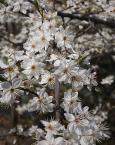 """baha7 """"mirabelki"""" (2016-04-27 08:32:35) komentarzy: 1, ostatni: ładnie, wiosenna gałązka"""