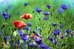 """benefoto """"Polne kwiaty"""" komentarzy: 2 (2017-01-04 23:40:29)"""
