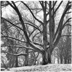 """barszczon """"z cyklu: subiektywne spacery poszczecińskie"""" (2017-02-02 17:09:28) komentarzy: 17, ostatni: @Matyldo - Twoje życzenie spróbuję spełnić - może nie w 100%. :) Domku na tym drzewie nie ma, a ja miałem niezbyt dobry - do takich fotografii - obiektyw :). Ale coś się spróbuje :))), dzięki :); @FitzRoy-u :))"""