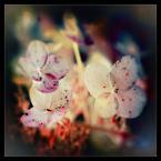"""matyldaW """"Troszkę koloru z ogrodu hortensjowego dla Pawła......Daab - W moim ogrodzie"""" komentarzy: 11 (2017-06-15 04:06:45)"""