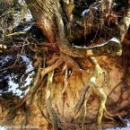 """Agnieszka Stelmach """"Drzewo w Wąwozie Korzeniowym"""" (2017-09-15 22:48:36) komentarzy: 1, ostatni: ciekawe, abstrakcyjne ukorzenienie, w ciepłych pastelach, lepiej bez podpisu"""