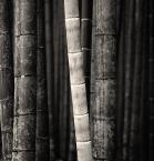 """Rafał Król """"Arashiyama Bamboo Grove, Kyoto, Japan"""" (2017-11-02 10:44:49) komentarzy: 6, ostatni: dobra kompozycja"""