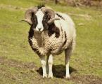 """MonikaSt """"Baranek"""" (2018-03-17 18:28:18) komentarzy: 1, ostatni: ładna owieczka"""