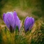 """terro """"Wiosna wiosna"""" (2018-04-01 10:12:01) komentarzy: 5, ostatni: Oj ta wytęskniona wiosenka brzęcząca, pachnąca ... jak miło położyć się na trawie w promieniach Słońca i cieszyć się po zimie z każdej nawet mróweczki nieśmiało jeszcze pomykającej miedzy jej źdżbłami"""