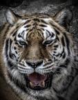 """Szeszu """"Tygrys"""" komentarzy: 3 (2018-04-12 14:00:38)"""