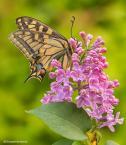 """Bartłomiej Skrzypek """"Paź królowej (Papilio machaon)"""" komentarzy: 1 (2018-05-11 11:43:07)"""