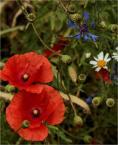 """barszczon """"kwiatki polskie..."""" komentarzy: 2 (2018-06-28 00:51:19)"""