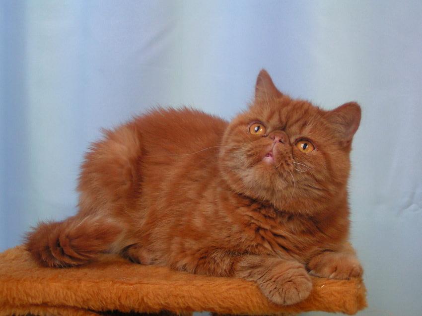 Fotografia Zwierzęta Kot Egzotyczny Krótkowłosy